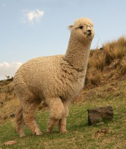 alpaca8.jpg